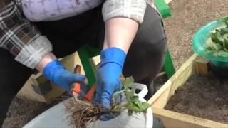 Клубника (садовая земляника) обновляем старые кусты. Как обновить и пересадить клубнику.