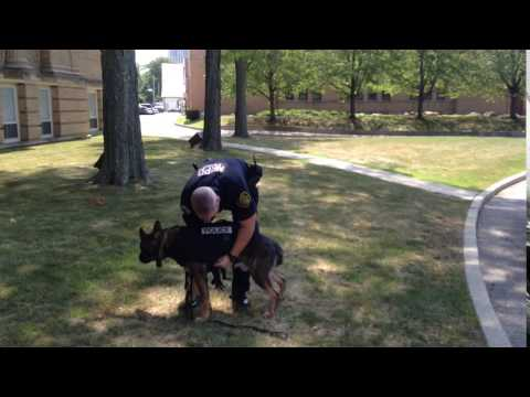 New Rochelle K-9 Officer Matthew Glass demonstrating how simple it is to slip the bulletproof vest on his partner, Diesel.