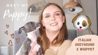 MEET MY NEW PUPPY!!  ITALIAN GREYHOUND X WHIPPET TIPS...