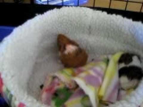 Brand New Baby Guinea Pigs - YouTube
