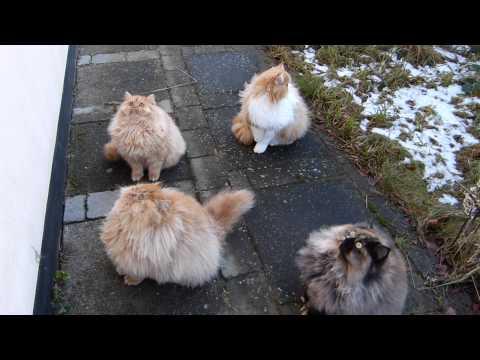 Persian cats - jump around :-)