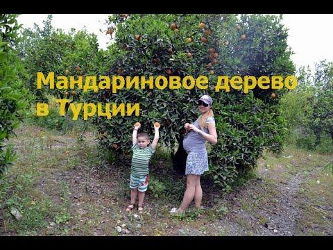 . Правильном уходе комнатные плодовые растения будут радовать глаз сочными плодами и цвести ароматами тропиков. Купить цитрус в киеве вы можете у нас, в клубе тропических растений. Приходите к нам, звоните, пишите и забирайте свое уникальное мандариновое дерево, кумкват или грейпфрут.