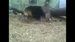 Lions Having Sex