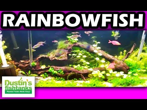 How to keep rainbowfish 55 planted aquarium youtube for Dustins fish tanks