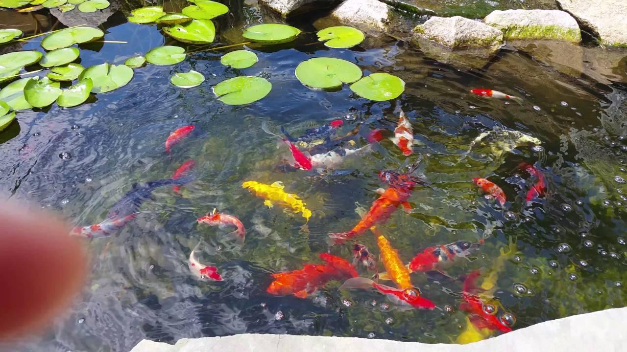 Amazing Koi Pond Crystal Clear Water Feeding Goldfish Catfish Jumping