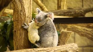 名古屋市 東山動物園 コアラの赤ちゃん 2011年6月6日生まれ オスで、母...