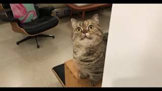 Funny cat so cute 丨 Munchkin Cat Tempting it with a bell丨TOP cat