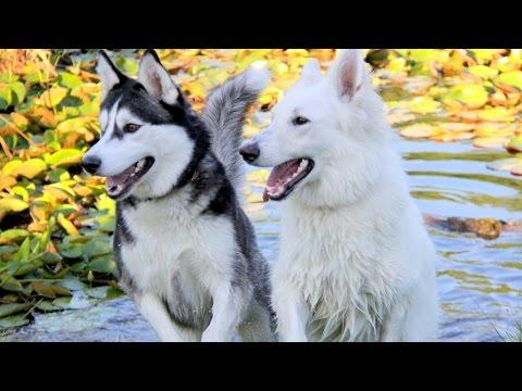 When Cute Siberian Husky Max Met White German Shepherd Ava