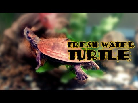 Freshwater Turtle Swimming in my Aquarium - Fish Lover - Lucky Turtle - bring goodluck