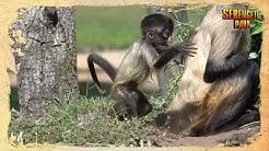 Neue Abenteuer vom frechen und neugierigen kleinen Klammeraffen-Jungtier Milan im Serengeti-Park