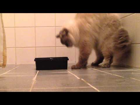 Cat dancing the moonwalk like Michael Jackson