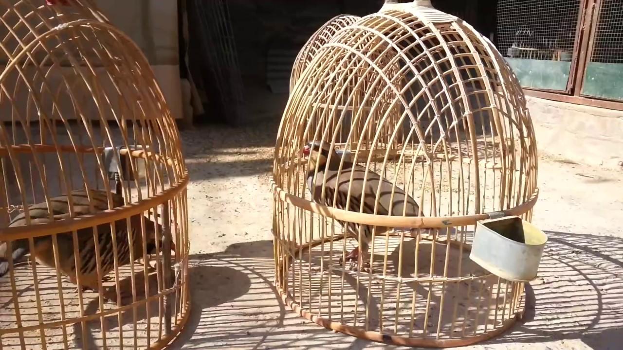 Olx Faisalabad Birds