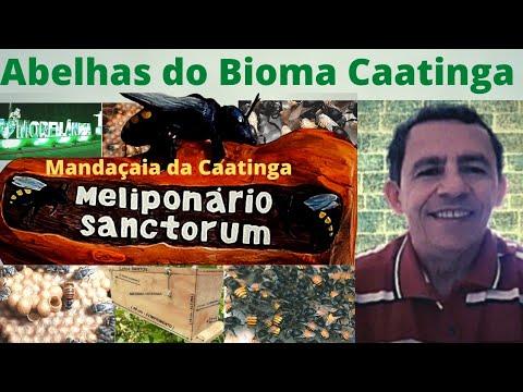 Mandaçaia da Caatinga de Moreilândia-PE.