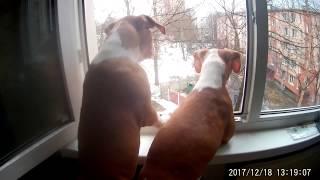 Амстаффы 3месяцев смотрят в окно. А мама АСТ Жужу - за ними...