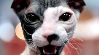 Порода кошек. Украиский левкой. Совершено новая порода кошек была выведена недавно.