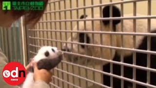 Repeat youtube video Panda cub meets mother in emotional first encounter since birth