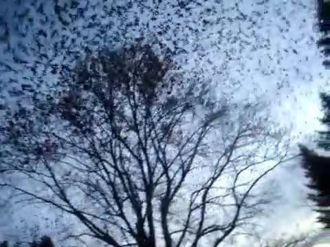 HUGE flock of noisy starlings flying over our house.