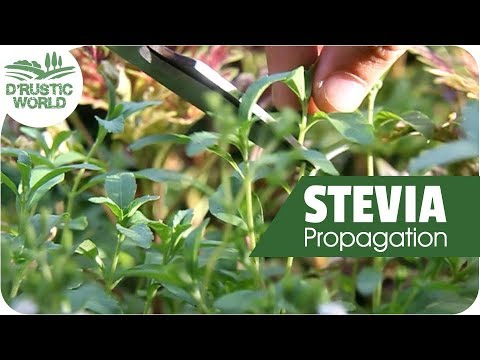 how-to-grow-stevia-plant-cuttings,-propagation