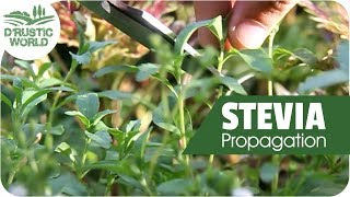 How to Grow Stevia Plant Cuttings, Propagation