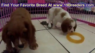 Cavalier King Charles Spaniel, Puppies, For, Sale, In, Milwaukee, Wisconsin, Wi, Brookfield, Wausau,