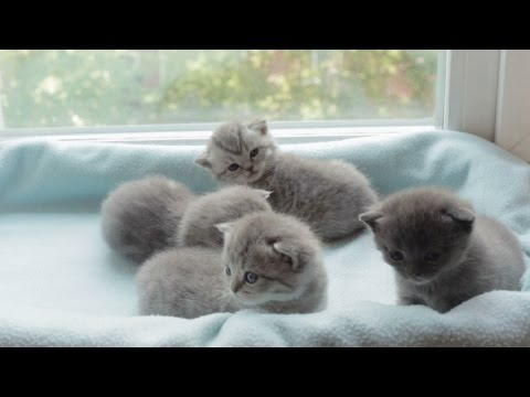 Blotched Tabby Kittens Breed Scottish Fold. | Stock Footage