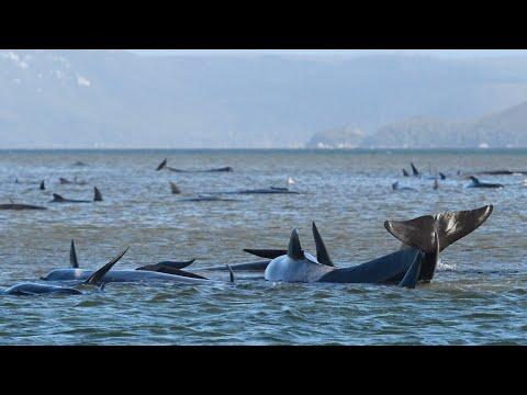 Volunteers Make 'good Progress' Rescuing Beached Whales Off Of Tasmania's Coast
