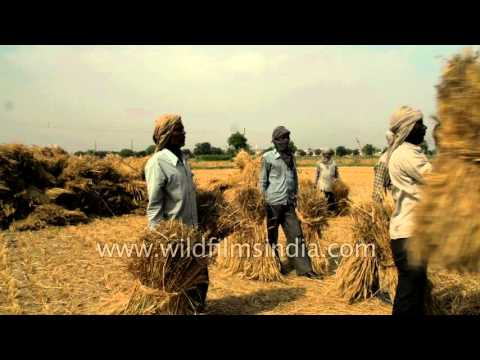 Wheat harvest time in India, in the heat of early summer