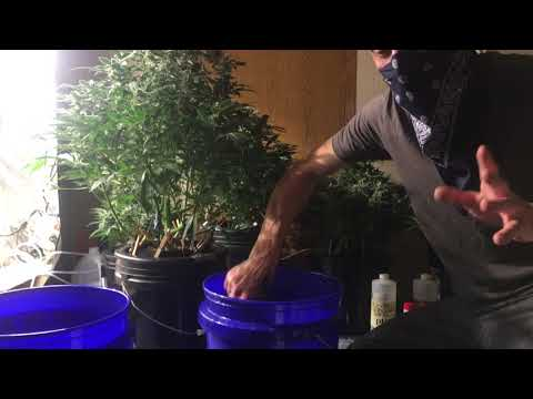 Growing With Clyde - DWC tutorial Deep Water Culture how to get huge plants and huge Nugs using DWC