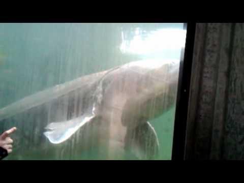 Herman The Sturgeon-Bonneville Dam Oregon