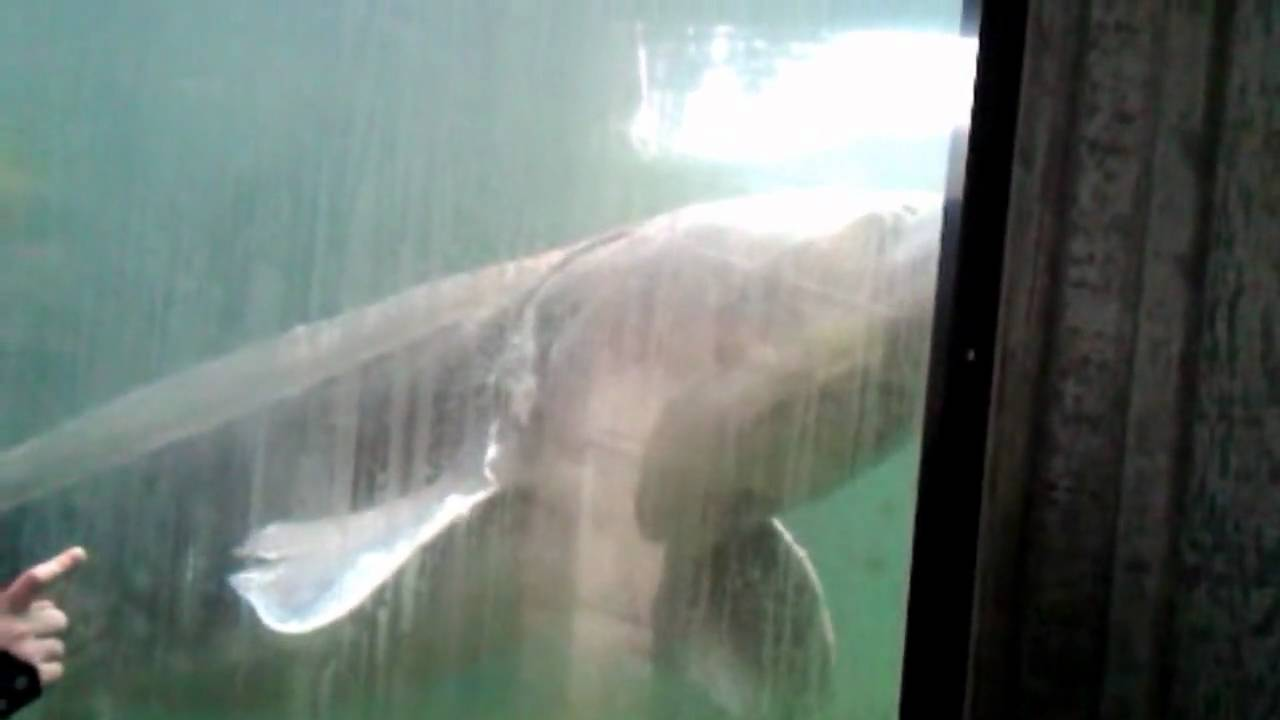 Herman the sturgeon bonneville dam oregon youtube for Bonneville fish counts