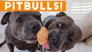 Download Ultimate Pitbull Compilation 2017 | Cutest Funny Pitbull Videos Ever Mp3 and Videos