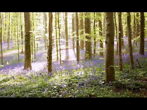 Hallerbos Belgium - Magical Bluebell Forest