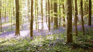 Video Hallerbos Belgium - Magical Bluebell Forest download MP3, 3GP, MP4, WEBM, AVI, FLV Agustus 2017