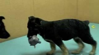 German Shepherd,puppies, For, Sale, In, Los Angeles, California, Ca, Visalia, Thousand Oaks