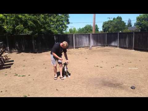 Canine Tutors, San Jose Dog Training, Pitbull Learns The Heel
