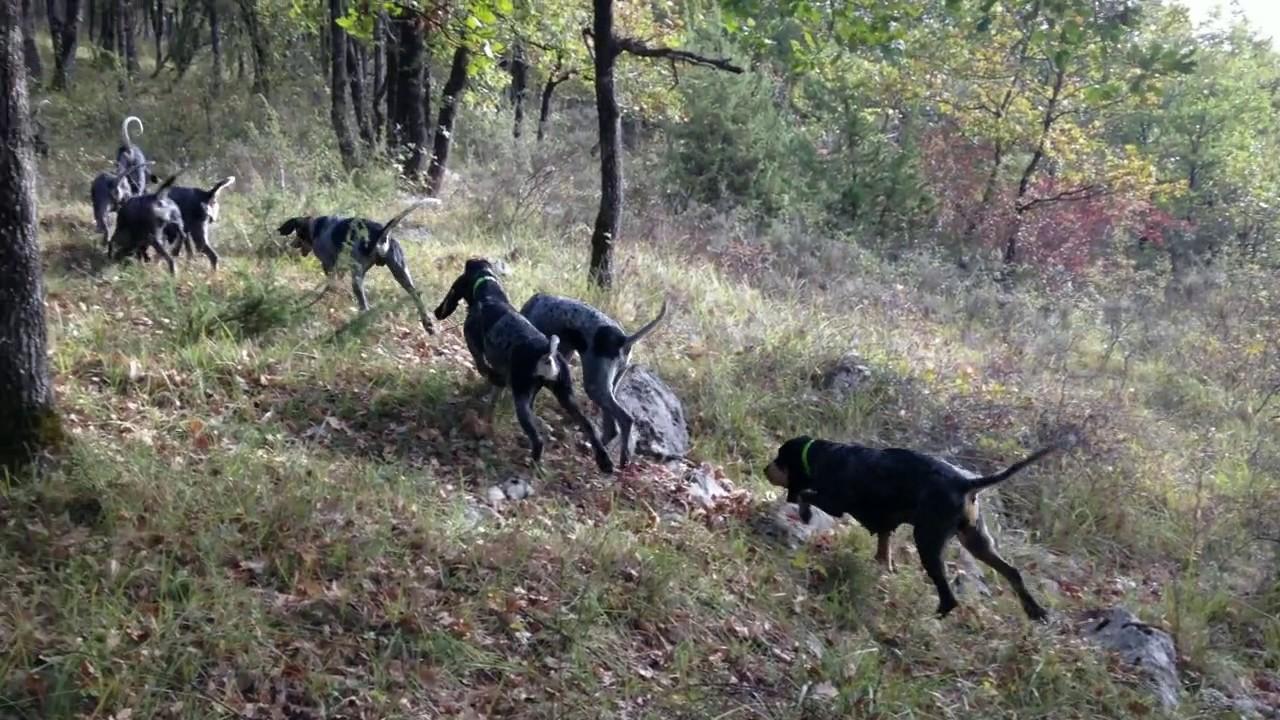 chasse au lièvre aux chiens courants (2017) - YouTube