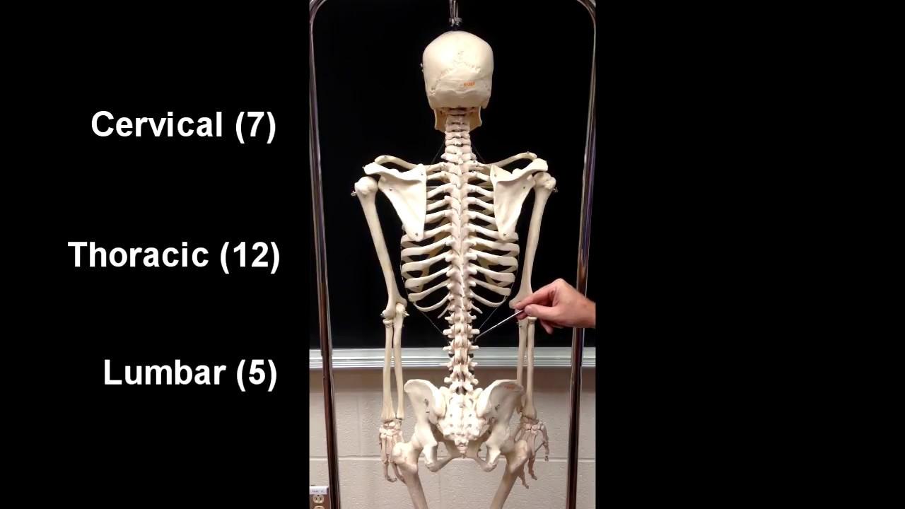 Anatomy Of The Axial Skeleton Youtube