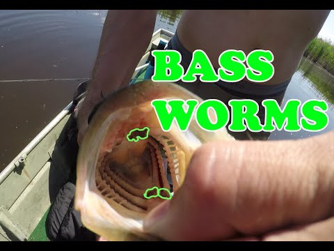 Bass With Parasites In Its Mouth. Gross!