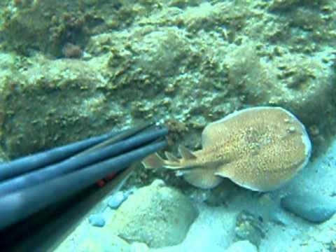 Pesce elettrico rilascia scariche elettriche ad un gabb for Cucinare murena