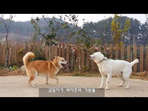 [37] 여성상위가 편한  진돗개 금동이 부부/ A dog couple familiar with female dominance