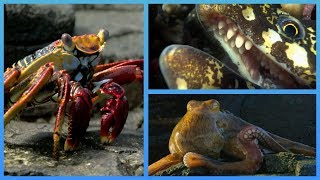 Crab vs Eel vs Octopus - Blue Planet II