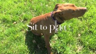 1-Year Old Pit Bull, Bailey!  Pit Bull Trainers Virginia | Pit Bull Training Virginia