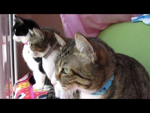 Thumbnail: Cats Chattering at Bird!