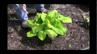 Rethinking the Shade Garden: Hosta Plants