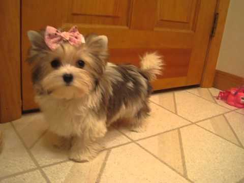 2 Lb Golddust Yorkshire Terrier Twiggy Video By Wwwbiewersyorkies