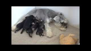 Cookies - Miniature Schnauzer Puppies - 2 Weeks Old
