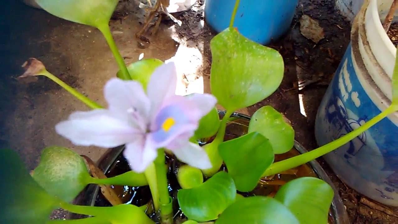 Jacinto de agua eichhornia crassipes jacinto acuatico - Jacinto planta cuidados ...