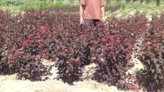 Пузыреплодник калинолистный пурпурнолистный. Посадочный материал собственного производства.(Добрый день! Мы занимаемся выращиванием и продажей растений для ландшафтного дизайна. В ассортименте собст..., 2014-07-02T10:31:41.000Z)