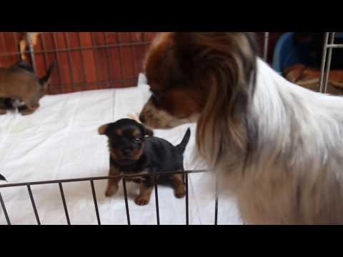 Australian terrier puppies and Papillon