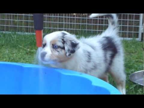 Wasser-Welpen/ Water puppies   Australian Shepherd Romy